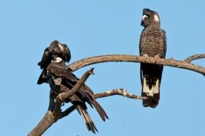 Birdlife: Bush Birds of Bold Park – Talk and Walk