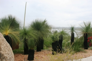 Xanthorrhoea preissii, Bali Memorial. Photo: K. Love