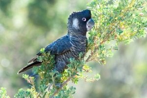 Carnaby Black Cockatoo