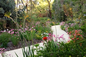 The garden beds look fantastic all through Spring, making it a popular time to come and visit Kings Park and Botanic Garden. Photo: BGPA.