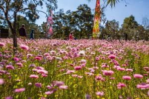 Throughout September, the Kings Park Festival presented amazing spring displays of wildflowers. Photo: J. Thomas.