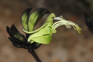 Winner – Black Kangaroo Paw (Macropidia fuliginosa). Photo: Tali Moyle.