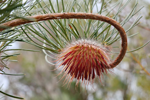 Winner - Banksia splendida subsp. Photo: Guy Leung.