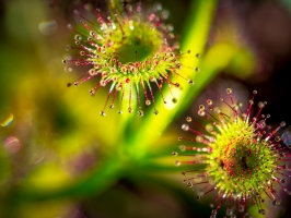 Winner – Drosera porrecta (Leafy sundew). Photo: Sharon Leisk.