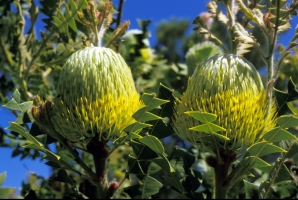 Banksia baxteri in flower in Kings Park. Photo: M. Seale.
