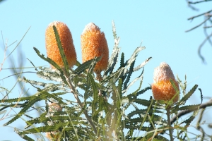 Banksia prionotes is a Western Australian native shrub or tree. Photo: D. Blumer.