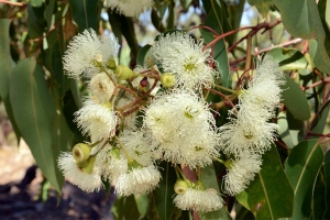 Corymbia calophylla, Marri trees, display an impressive show of cream flowers towards the end of summer and provide an important source of nectar to local wildlife. Photo: D. Blumer.
