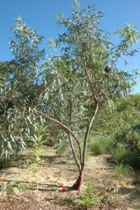Eucalyptus kingsmillii tree in the garden. Photo: D. Blumer.