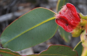 Eucalyptus sweedmaniana predominantly flowers in summertime. Photo: L. Sweedman.