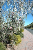 Silver Princess growing in Kings Park. Photo: D. Blumer.