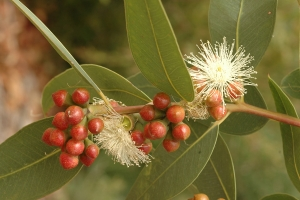Eucalyptus mooreana in bloom. Photo: D. Blumer.