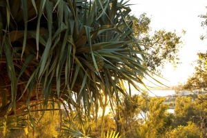 Pandanus aquaticus with river views from Kings Park. Photo: P. Sawyer.