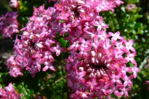 Pimelea ferruginea K LOVE A