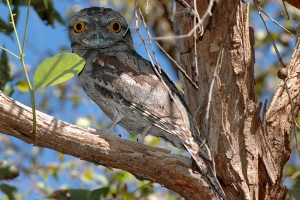 Tawny frogmouth. Photo: D. Blumer.