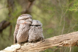 Tawny frogmouths in Kings Park. Photo: D. Blumer.