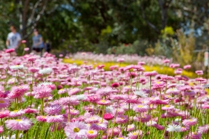 Beautiful pink everlastings are in full blosson in Kings Park and Botanic Garden. Photo: A. Russell.