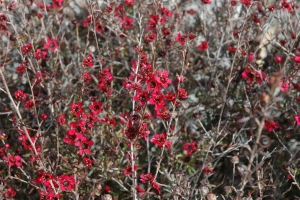 Leptospermum scoparium (red variety)