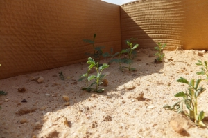Success - Acacia seedlings emerging from soil. Boxes were used to protect seedlings from drying winds during the critical establishment phase.