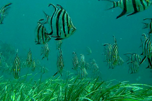 Angel fish on the seagrass meadow