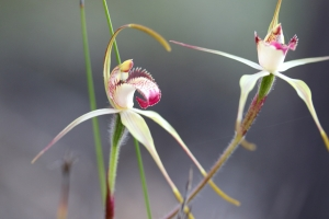 Caladenia leucochila (Collie Spider Orchid). Photo: B. Davis