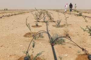 Trial site highlighting the irrigation infrastructure and seedling development at Thumama Park where 45,000 Acacia seedlings were planted as part of Phase 1.