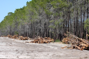 The pine system that will require restoration