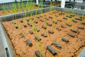 Germination testing of clay-based pellets for precision seeding at restoration sites. Photo: D. Merritt.
