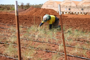 Installing seed farming trials for spinifex grasses. Photo: T. Erickson.