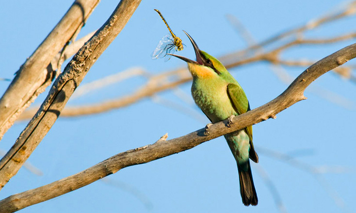 Rainbow Bee-eater. Photo: B. Knott