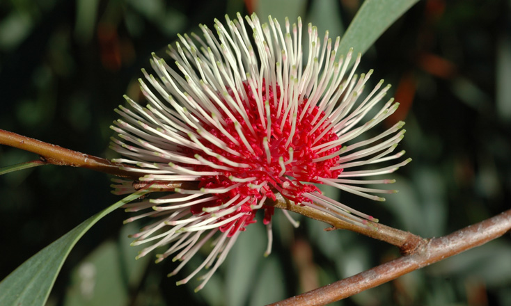 Hakea laurina. Photo: D. Blumer